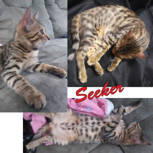 Pure bred Bengal Kittens - 1 Sepia, 1 Amber, 2 Marble