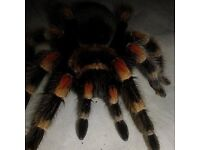 Female mexican red knee 30 with setup need gone TODAYY