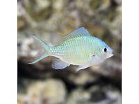 3 x marine fish - blue chromis