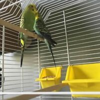 2 budgies for sale breeding pair with cage