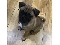 One little pug puppy