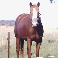 Reg Paint bred Mare Allora Southern Downs Preview