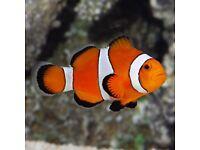 Clown fish x2