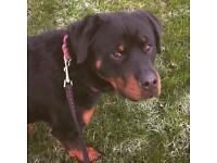 22 months old Rottweiler bitch