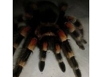 Female mexican red knee 20 with setup need gone TODAYY