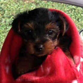 Yorkshire terrior pups (yorkies)