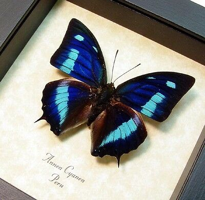 Real Framed Anaea Cyanea Blue Sky Butterfly 137