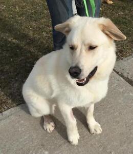 """Young Male Dog - Labrador Retriever-Husky: """"Mallow"""""""
