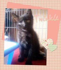 "Baby Female Cat - Domestic Short Hair: ""Twinkle"""
