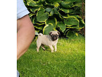Pug Puppies for sale. SUPURB Blood lines On both sides
