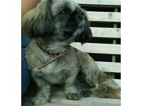 Female Imperial Shih Tzu 3 Years Old