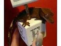 Beautiful crested gecko