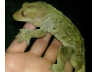 Lovely Crested gecko chunky male