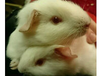 A Pair Of Pink Eyed White Guinea Pig Boars