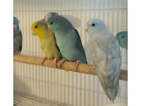 HIGH & STRONG QUALITY Baby Celestial Parrotlets [£50 EACH] For Sale + Cages From £20