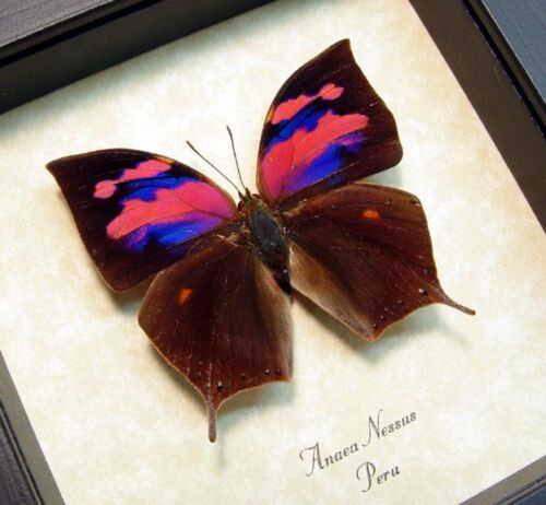 Real Framed Anaea Nessus Rare Pink Purple Butterfy 510
