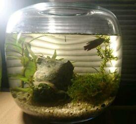 Handmade Glass Betta Fish Bowl, small fish bowl, heater, just add fish