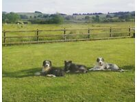 Pure bearded collie pups