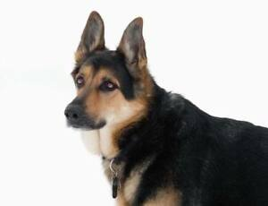 German Shepherd- Free to the right home