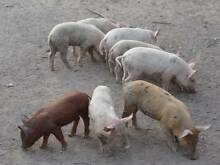 PIGLETS FOR SALE - 2 @ 18 WEEK OLD SOW PIGLETS FOR SALE Maryborough Fraser Coast Preview