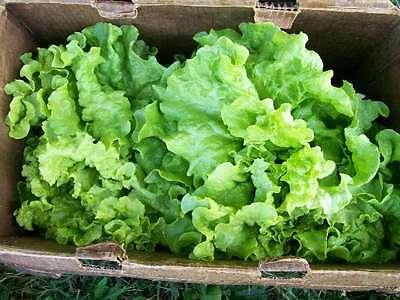 POMODORO biologico vegetale BISTECCA IPOTECA LIFTER 800 Semi BULK