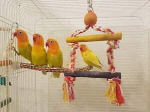 Fisher Lovebirds baby, bebe inseparables fisher 110$/1  ou 160/2