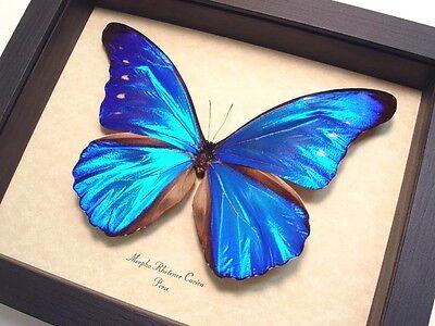 Real Framed Morpho Rhetenor Cacica Butterfly 8153