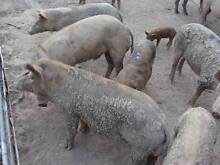 PIGS FOR SALE - From Weaners to Breeders Maryborough Fraser Coast Preview