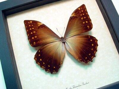 Real Framed Morpho Telemachus Foucheri Golden Morpho Butterfly 760