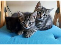 Lovely 3 male kittens SOLD NOW