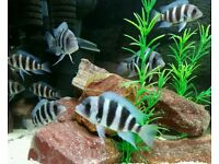 Mpwimbe Blue Frontosa
