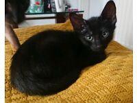 Beautiful Black half Siamese Male kitten