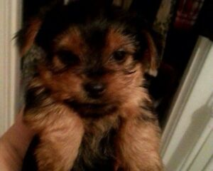Baby Doll Faced Yorkshire Terriers  1 Boy and 2 Girls Available