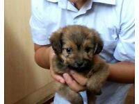 8 week puppy male