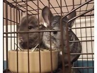 2 male chinchillas father and son looking for forever home