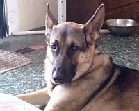 german shepherd pups  all are sold, enjoy all new families