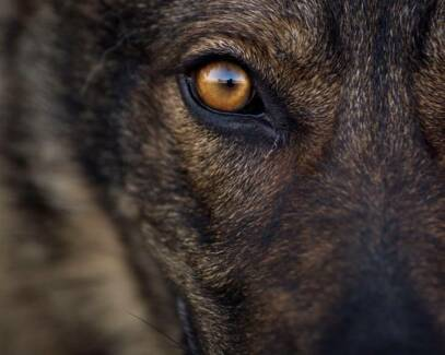 Real German Shepherd Purebred Pedigree Paper Pups Champion Lines