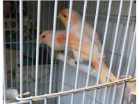 Canary avairy birds