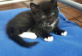 Stunning black and white male kitten