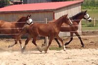 2014 Clyde tb filly - Great Performance Prospect