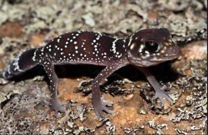 Barking Geckos 1 Year old Marion Marion Area Preview