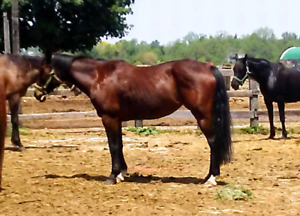 Kid saf beginner safe trail safe 12 year old quarter horse mare