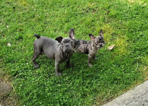 ❤️Purebred Registered French Bulldog Puppies ❤️1 Blue 1 Merle❤️