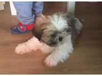 12 week old shih-tzu