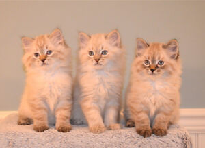 RARE REGISTERED AMERICAN BOBTAIL KITTENS