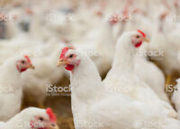 Looking for a local chicken processor