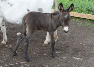 Registered chocolate brown jack foal