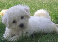 PURE FEMALE BICHON FRISE PUPPY