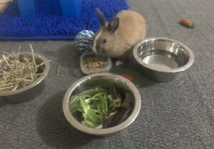 Netherland dwarf bunny with food and toys