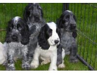 cocker spaniel puppies for sale pure breed